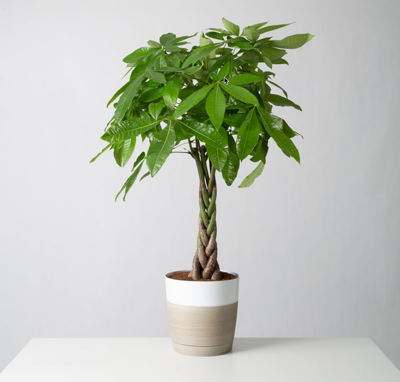 Good luck and pet friendly! The braided trunk of the Money Tree plants adds a great texture to your plant family.