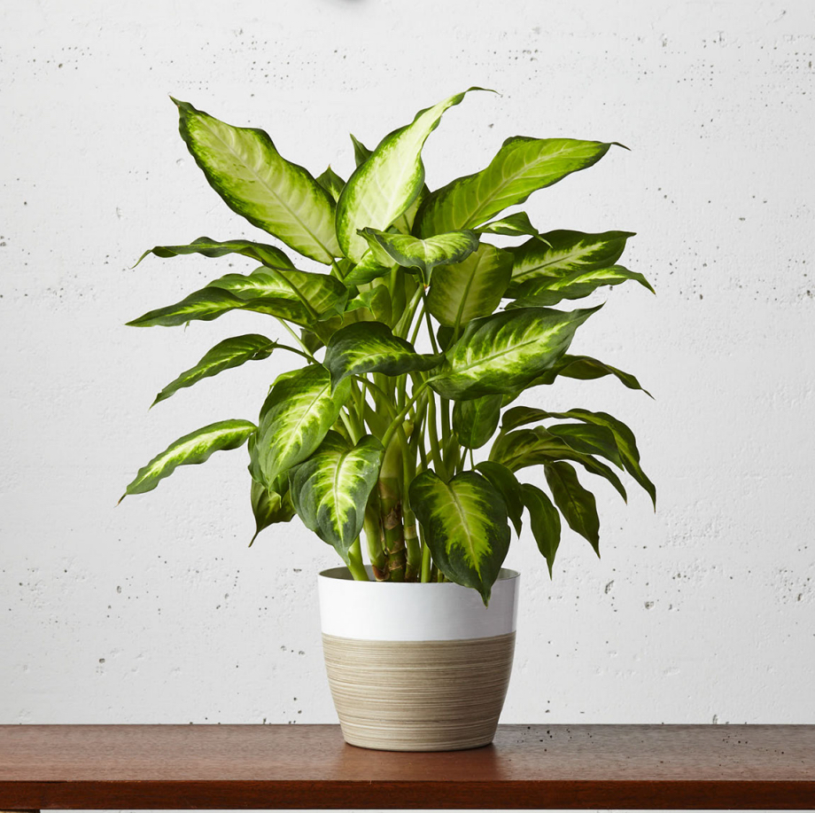 Dieffenbachia Plant (Dumb Cane) has this great two tone color and is air purifying! We have small table topper Dieffenbachia's right up to large, mature floor plant sized Dumb Cane at plants.com