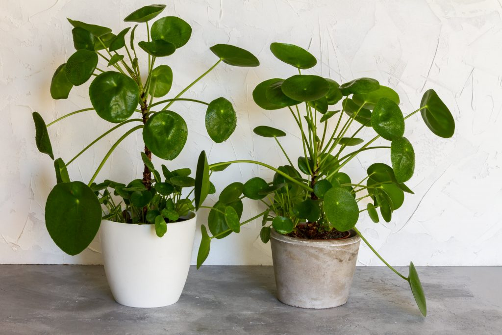 Pilea Peperomioides Plant is another easy care, pet friendly plant. Check it out on plants.com
