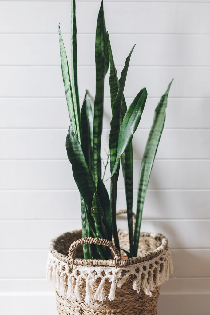 One of our teams favorites in the office and at home! The Snake Plant (Sansevieria) is really SO easy to care for. Find it at plants.com