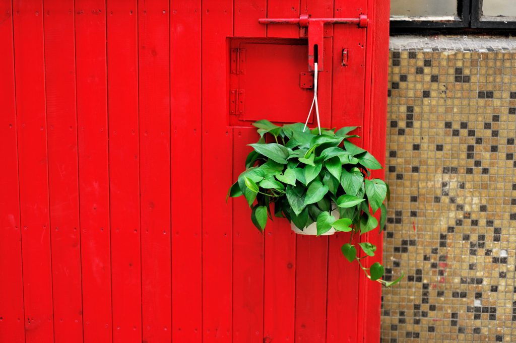 We love Pothos! Easy care, air purifying, and can grow to add a lot of character especially as a hanging plant.