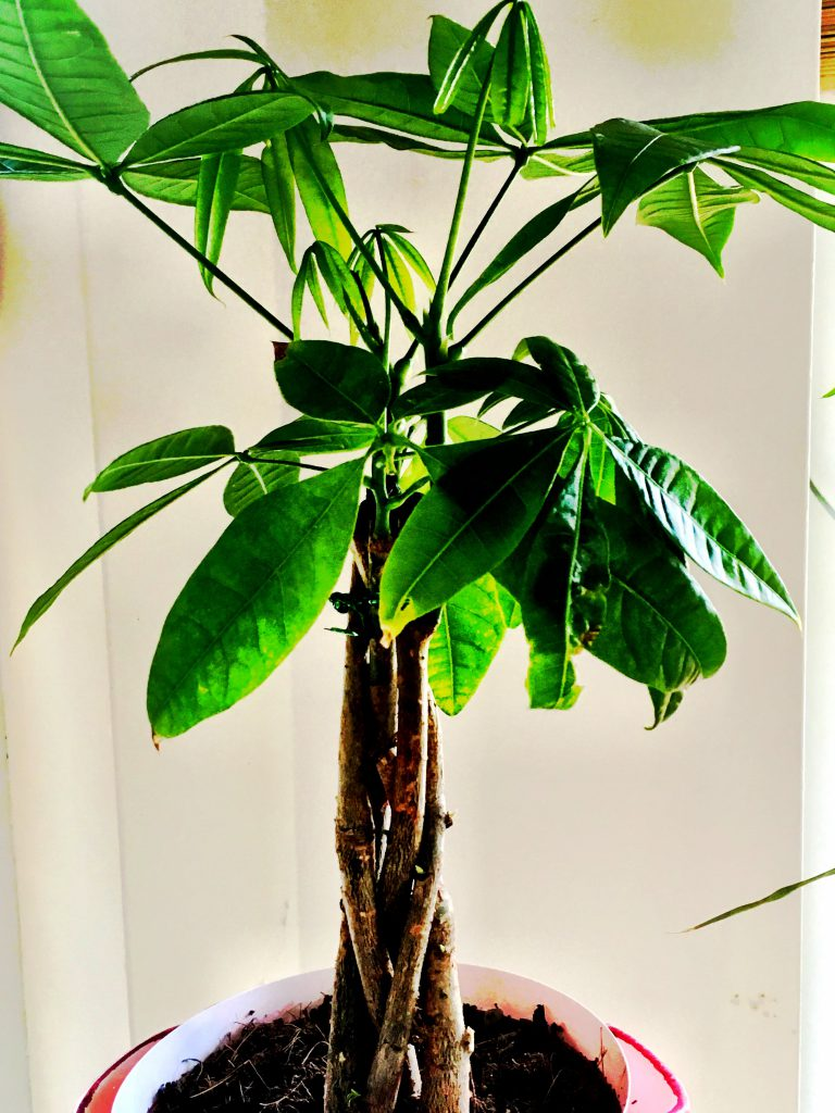 The Money Tree (Pachira aquatica) is easy to care for and super pet friendly.  See it on plants.com