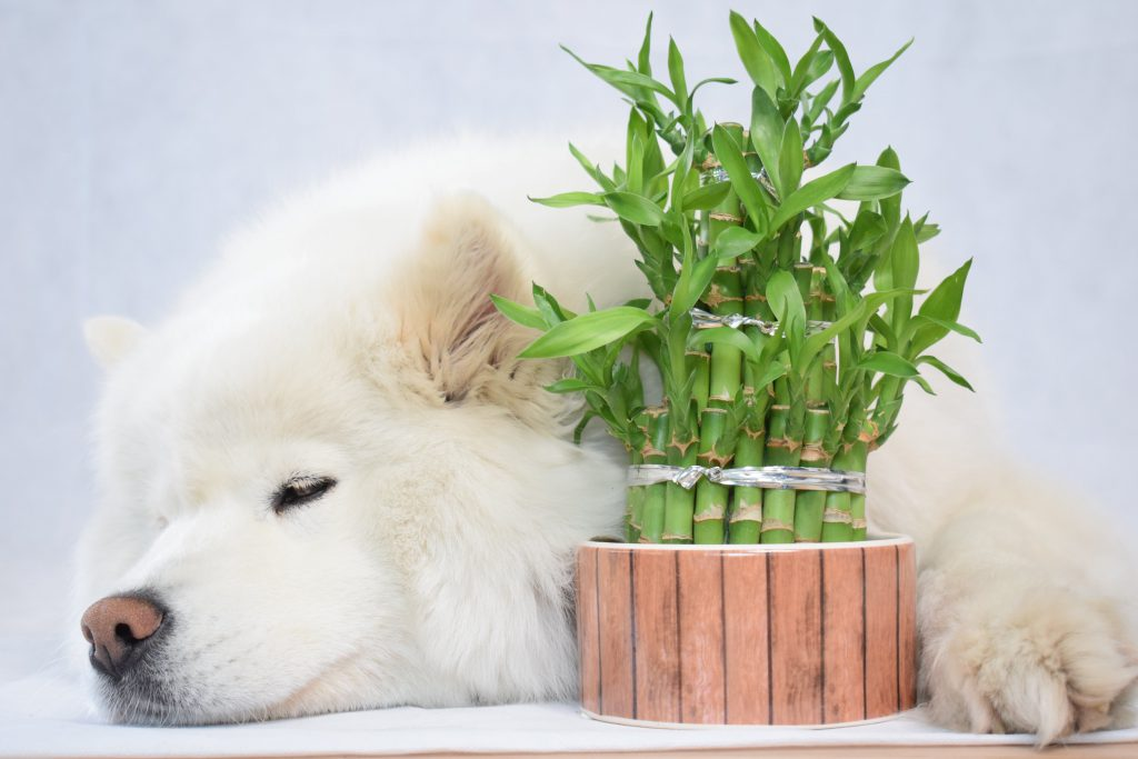 Pet friendly and easy care, bamboo is an ideal pet friendly plant