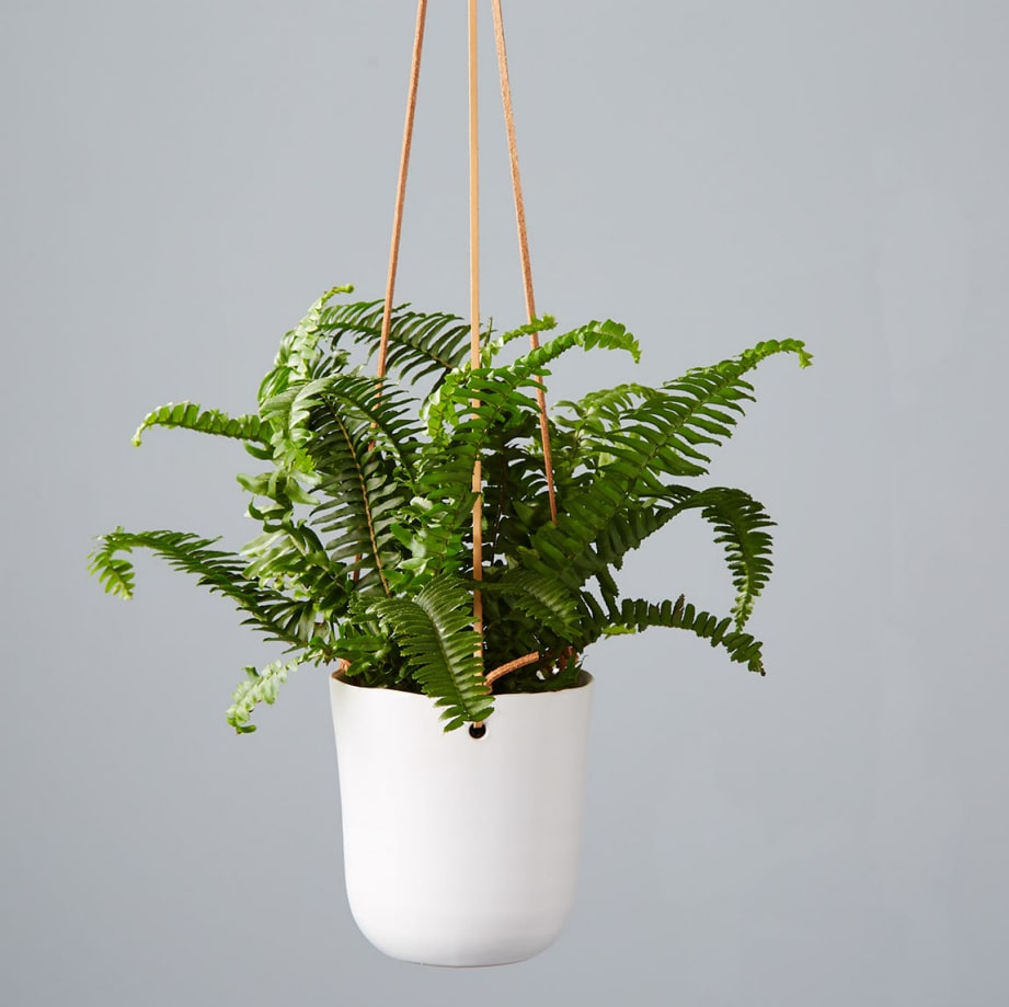 Air purifying and pet friendly, the Boston Fern makes a great hanging plant.