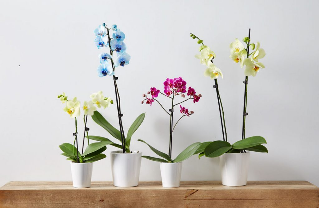 Orchids come in a variety of wonderful, elegant colors. Check out the collection to find your favorite.