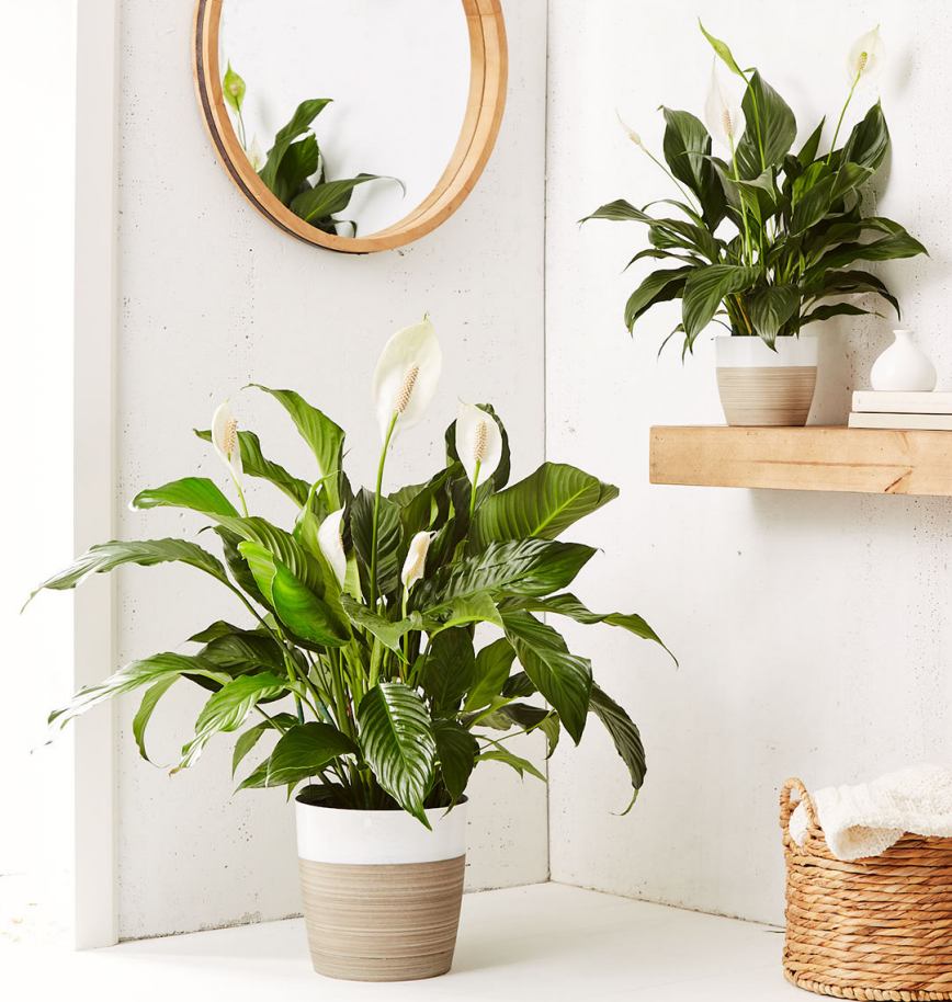 Beautiful and low maintenance, the Peace Lily Plant (Spathiphyllum) is an air purifyer and also classic sympathy gift