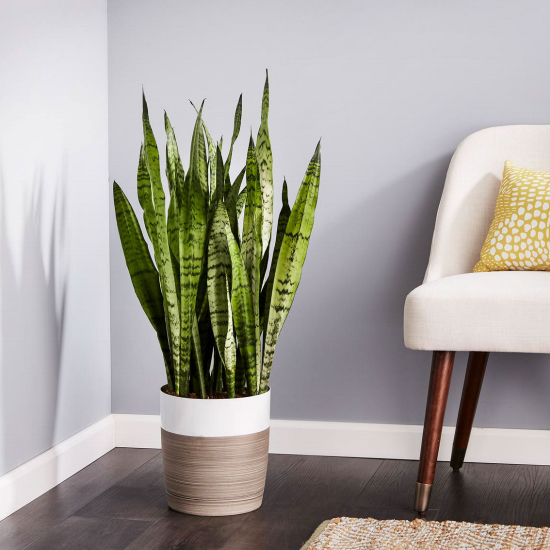 The snake plant is one of our faves. It's so easy to care for, striking in appearance, and a great air purifying plant.
