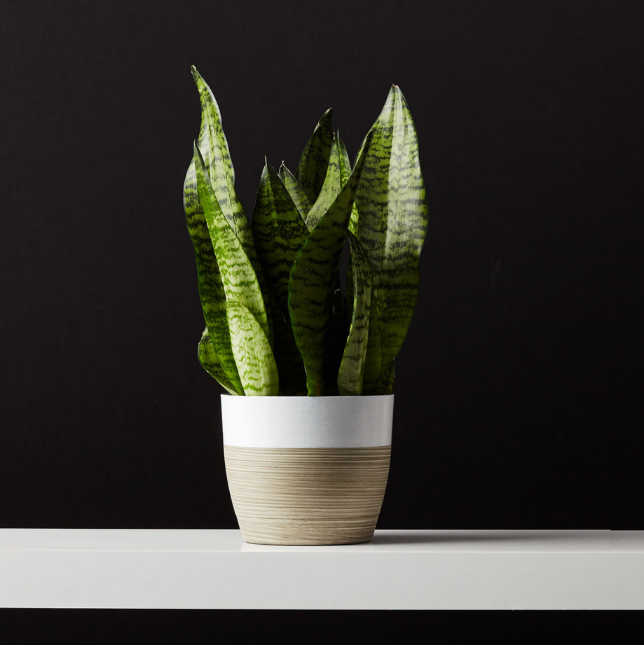 """Snake Plant (Sansevieria) also known as """"Mother in Law Tongue"""" makes a great easy care, low light plant. Find it on plants.com"""