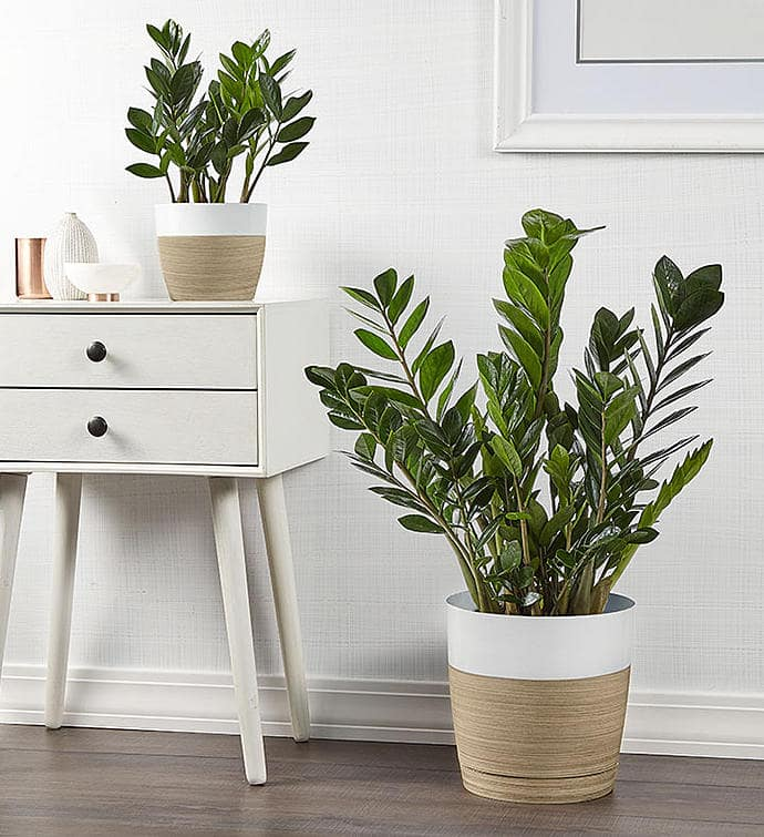 Two ZZ Plants (Zamioculcas Zamiifolia) both sizes available on plants.com to decorate your table top or as a floor plant.