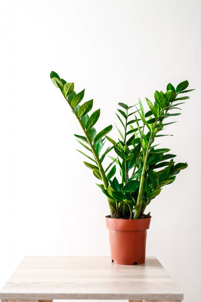 ZZ plants make great desk toppers and can grow to larger, floor-plant size