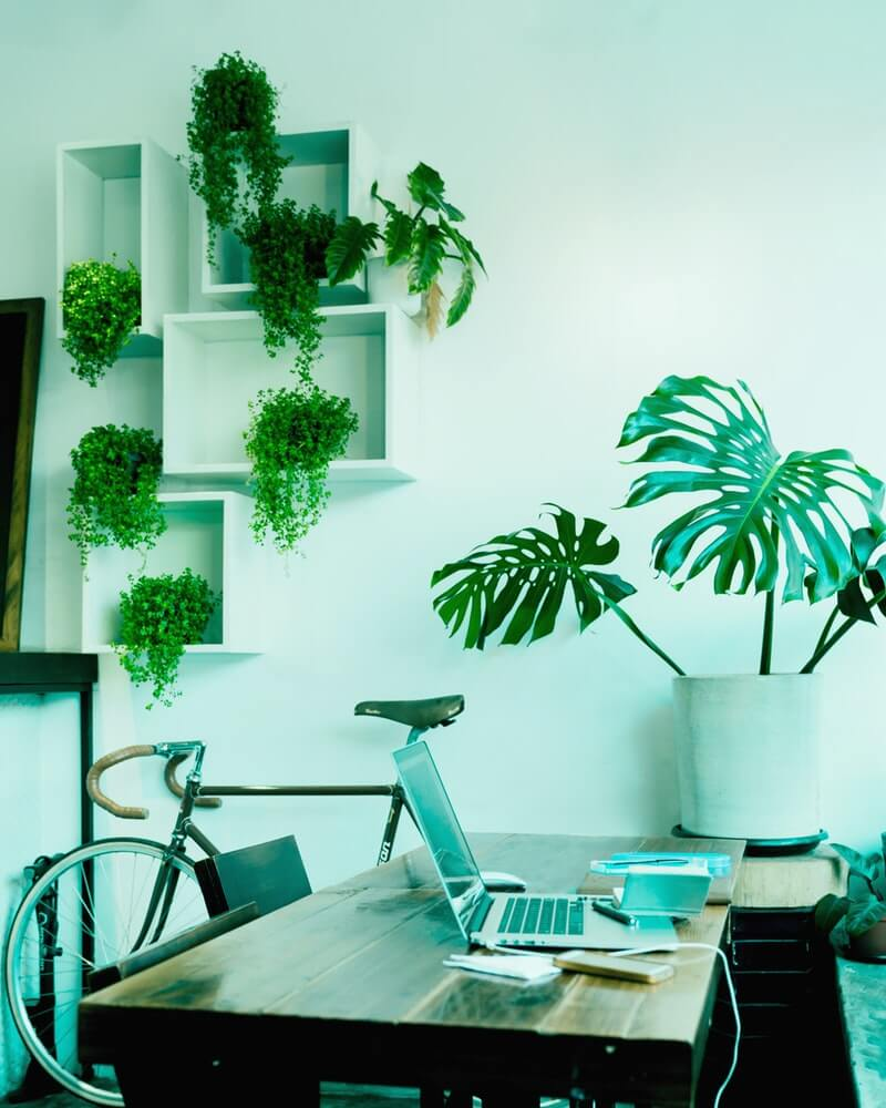 Monstera plants look great in almost any space