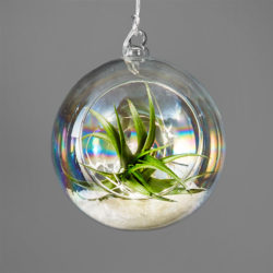 DIY: Holiday Air Plant