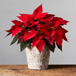 DIY: Holiday Poinsettia Tree