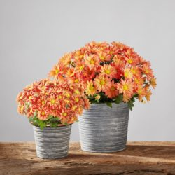 Fall Chrysanthemum Care Essentials &…