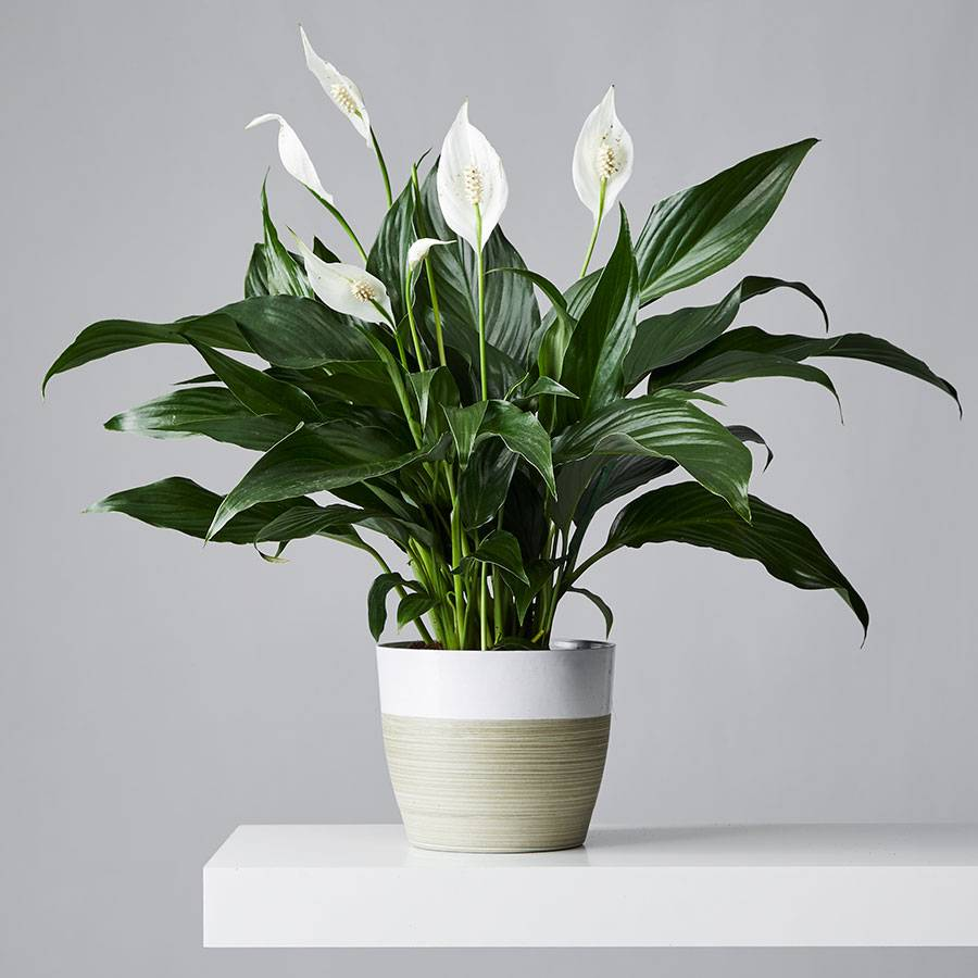 A pot of peace lilies to purify the air at home.