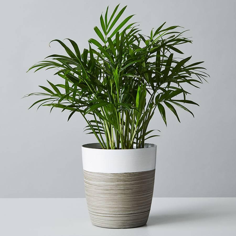 Parlor Palm Plant (Neanthe Bella Palm)