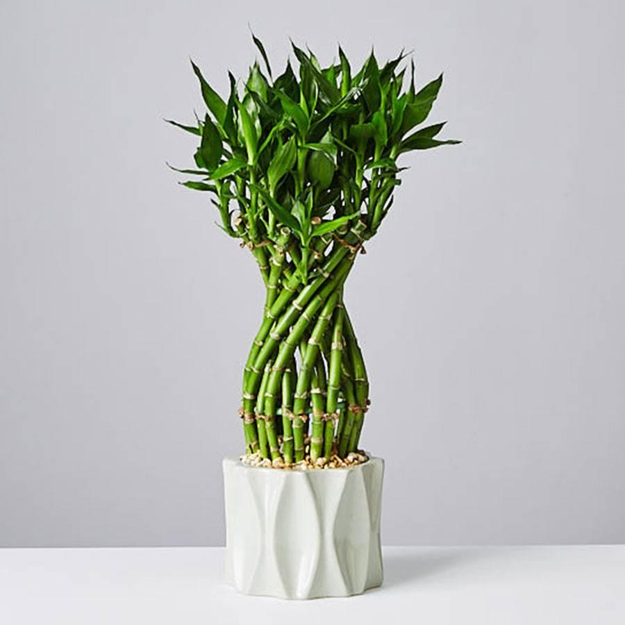 Flower Lucky Bamboo Plant