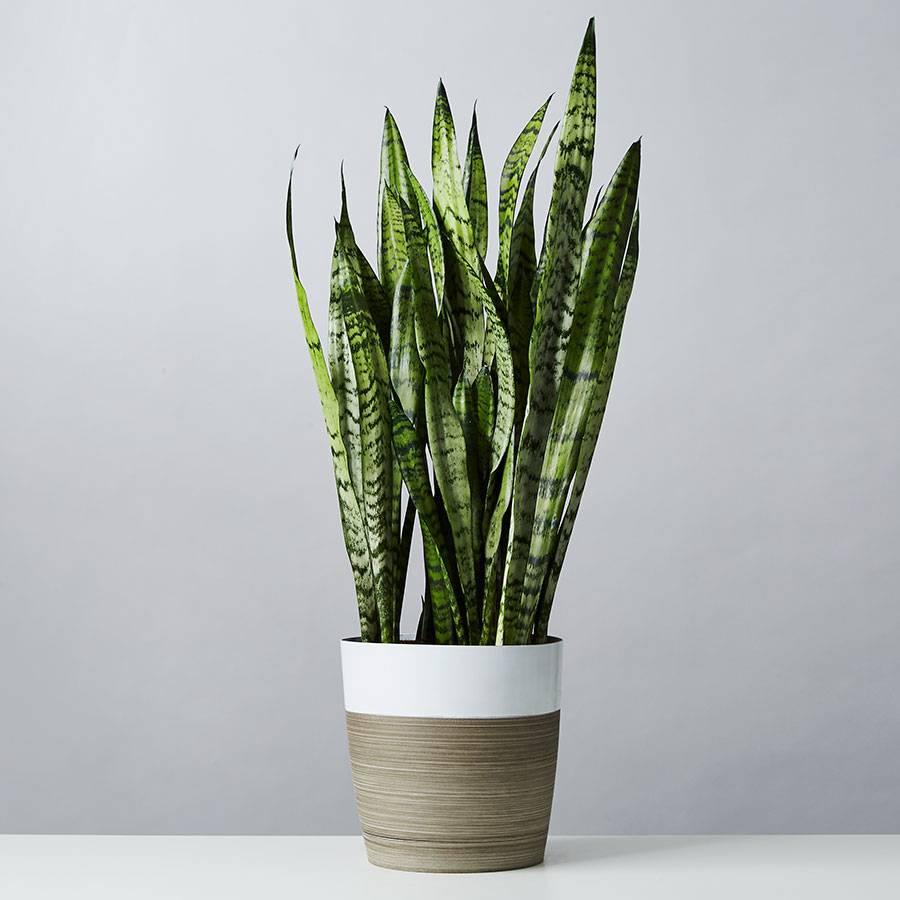 Snake Floor Plant (Sansevieria)