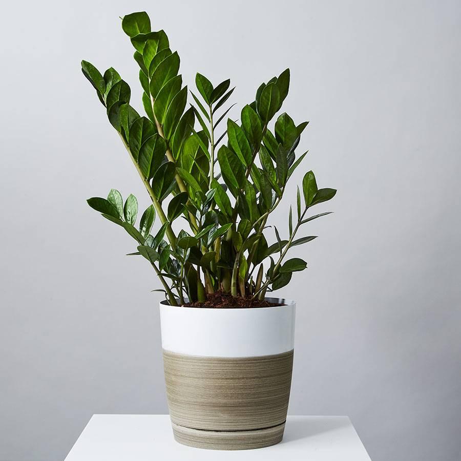 ZZ Floor Plant (Zamioculcas Zamiifolia)