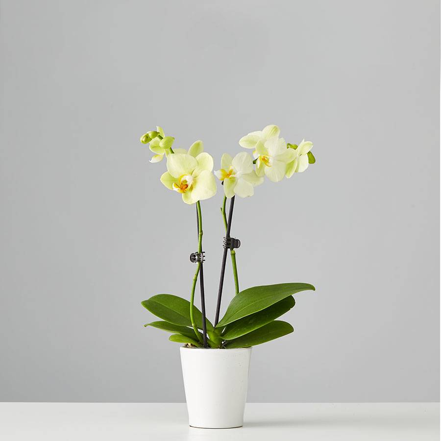 Small Phalaenopsis Orchid: Yellow