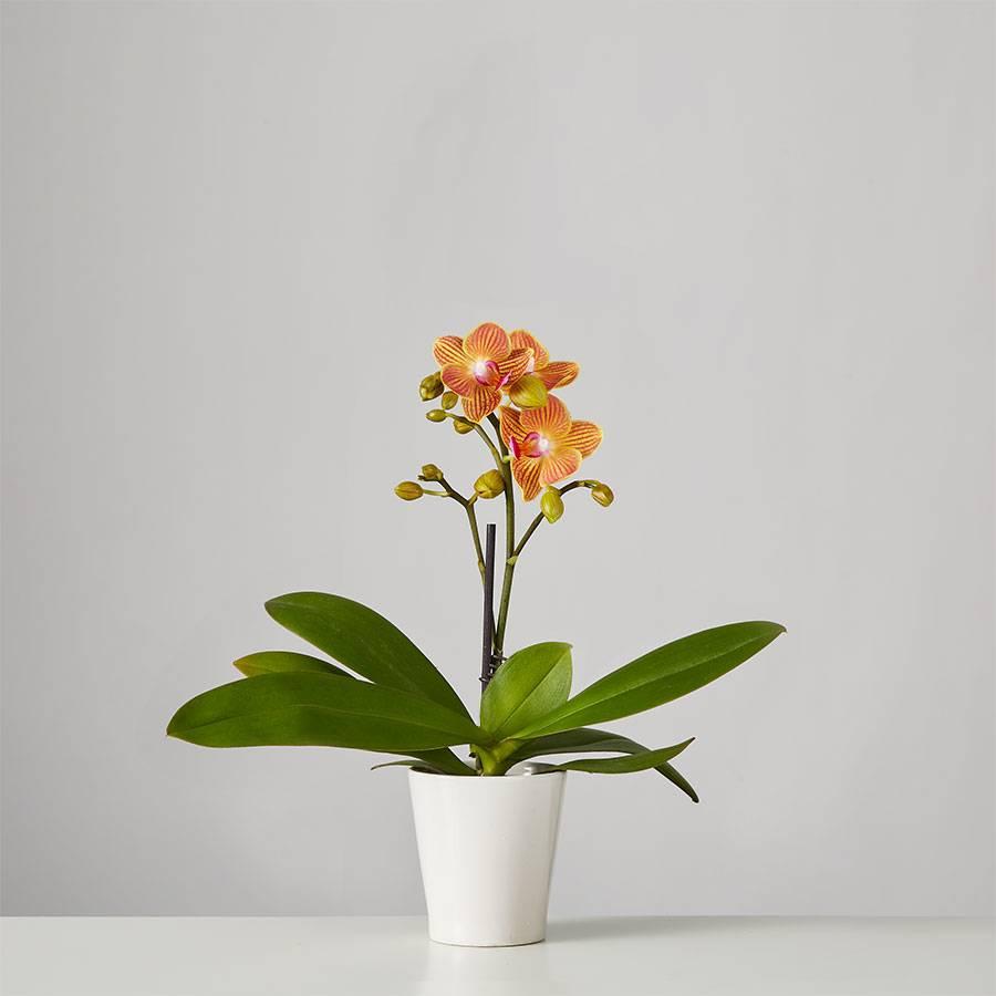 Small Phalaenopsis Orchid: Orange
