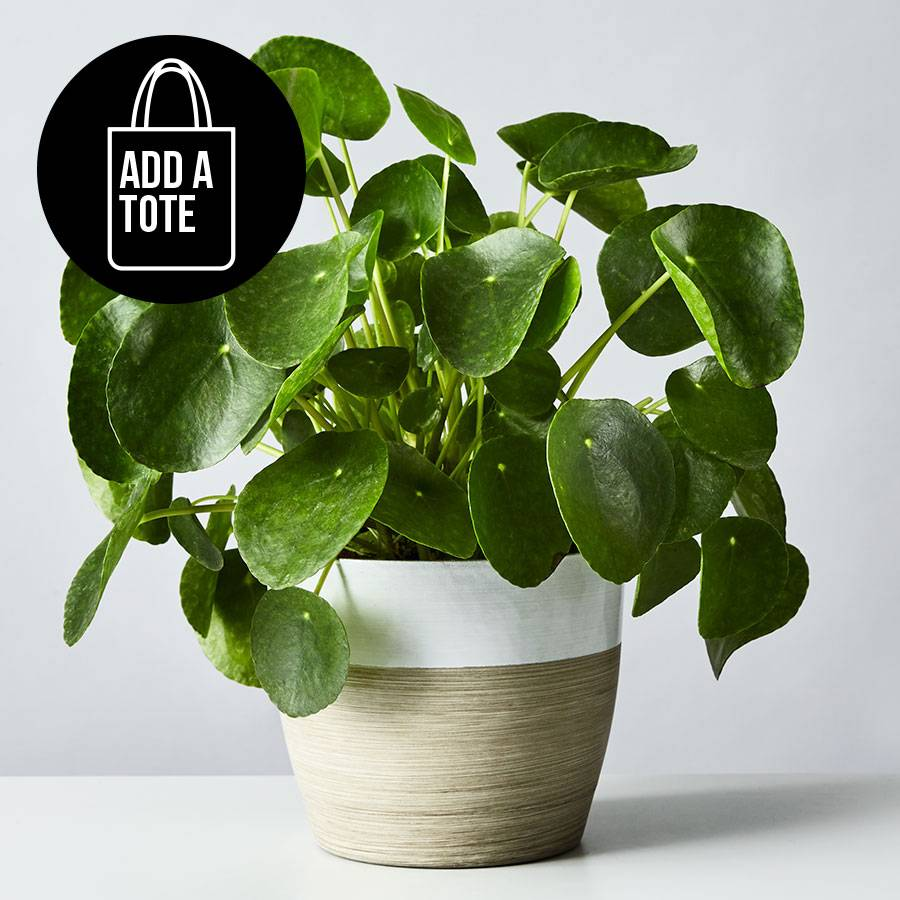Pilea Peperomioides (Chinese Money) Plant