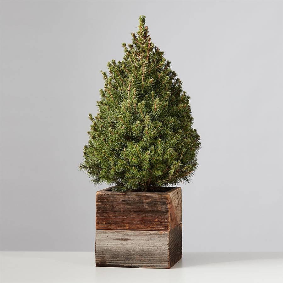 Holiday Lights Spruce Tree
