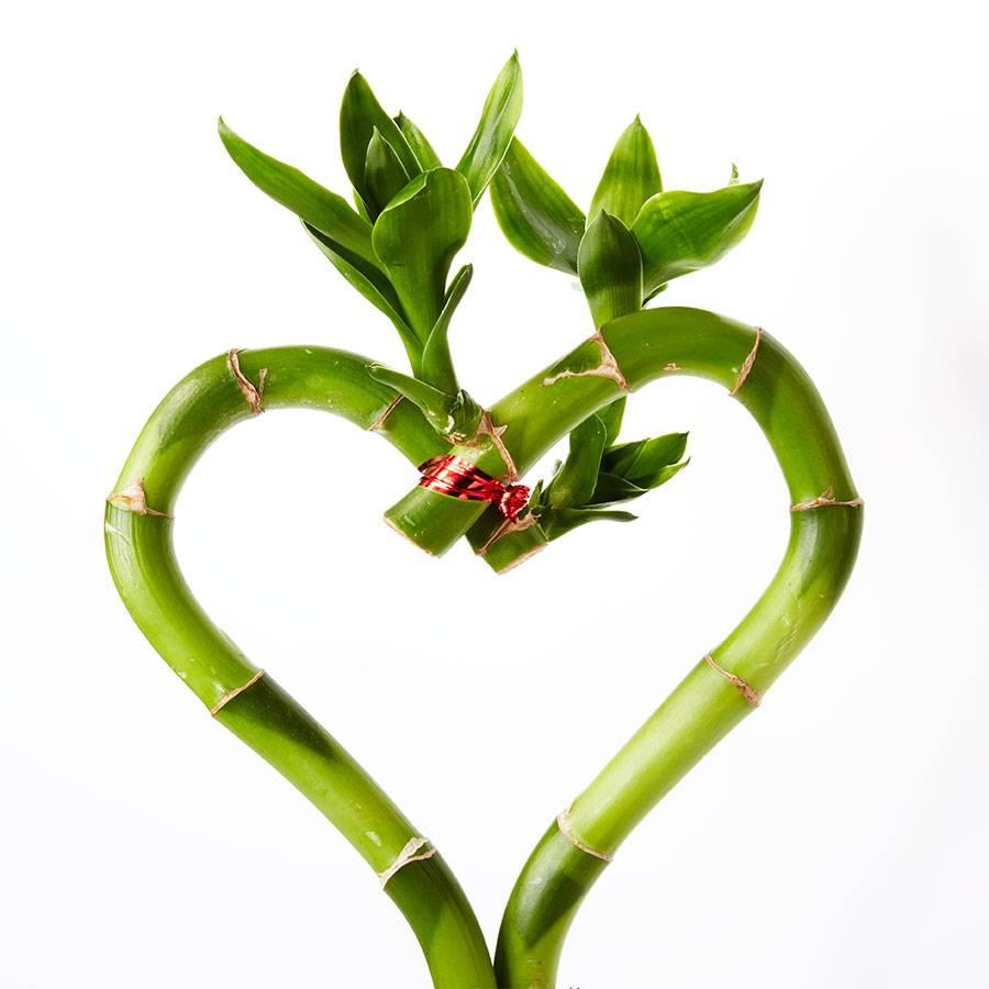 Sweet Heart Bamboo