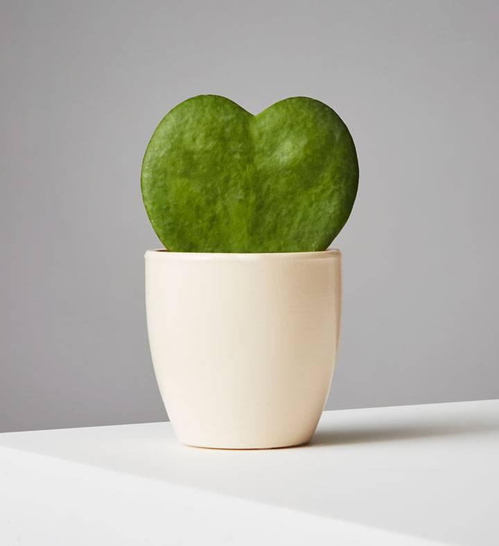 Hoya Heart Succulent