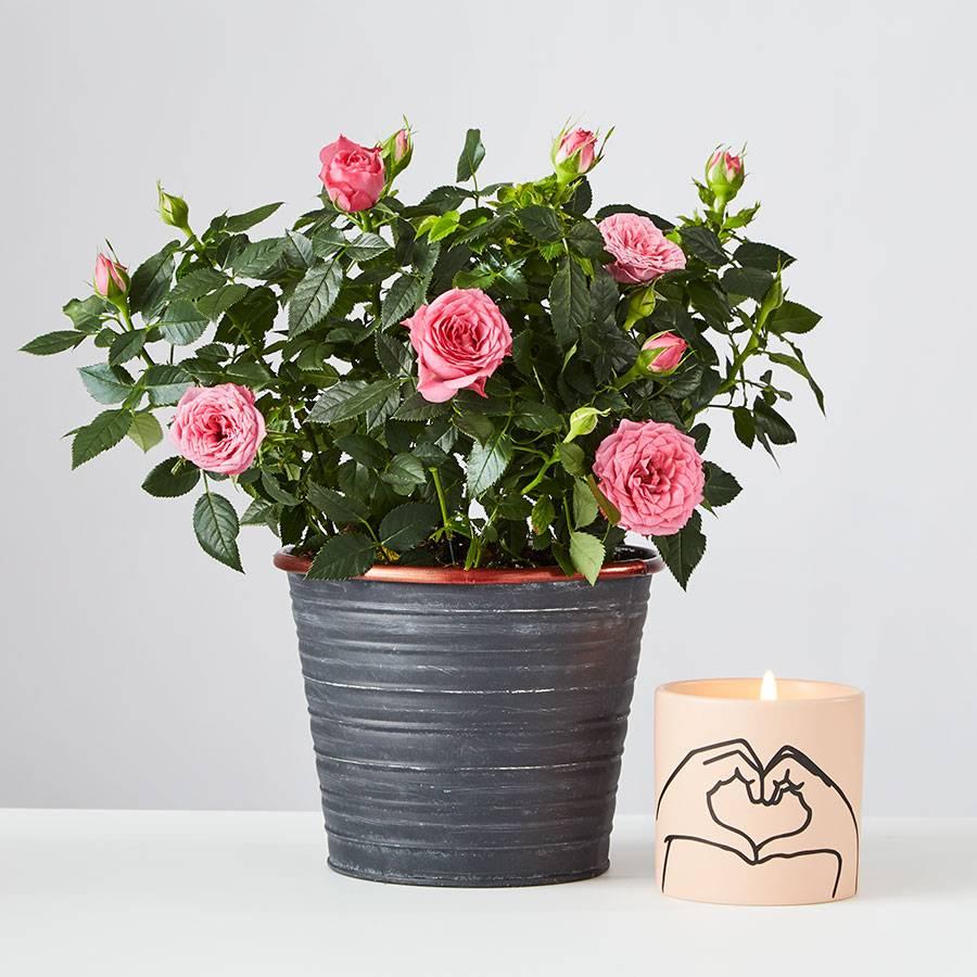 Pink Rose Plant