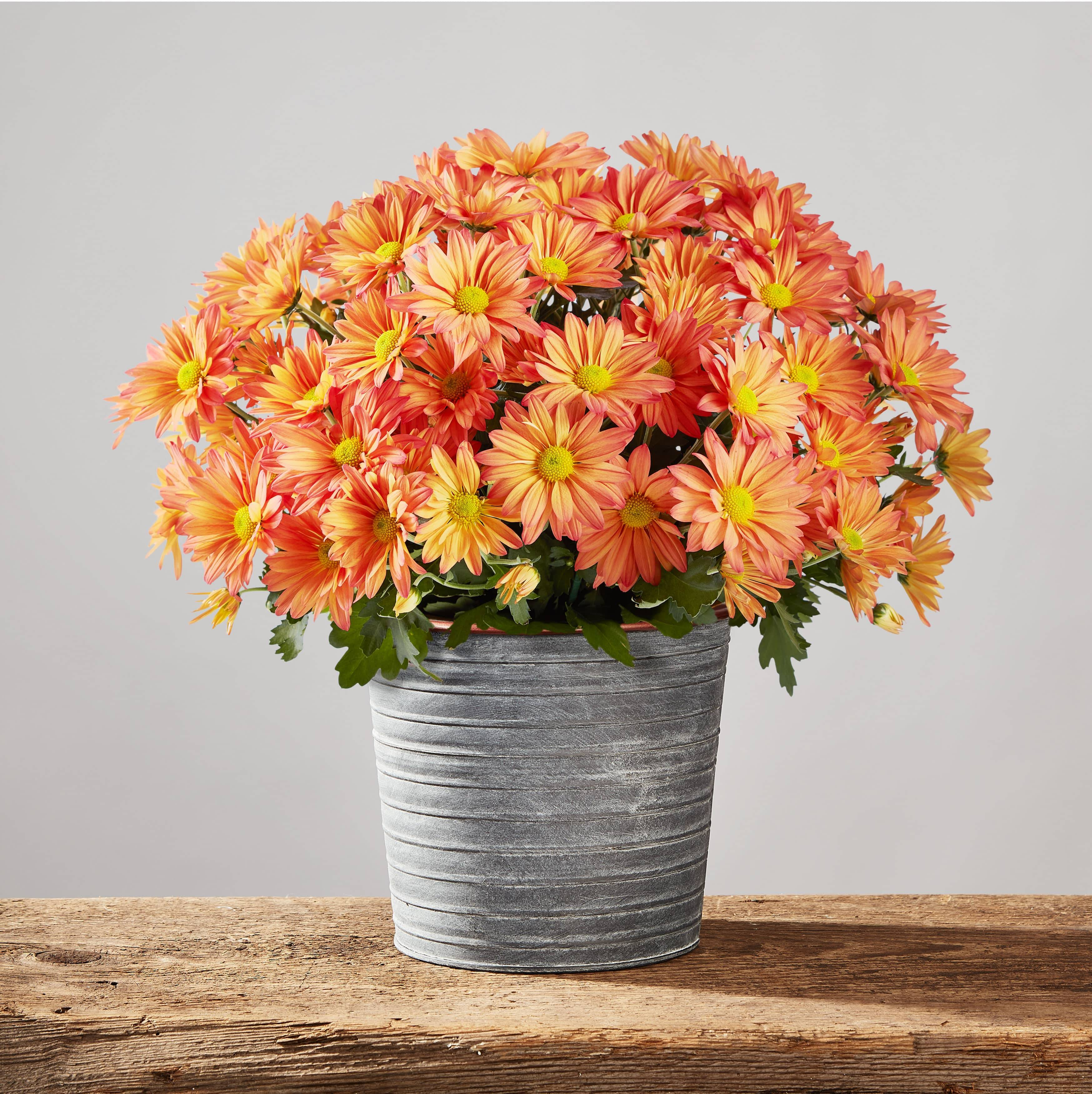 Fall Mum (Chrysanthemum)