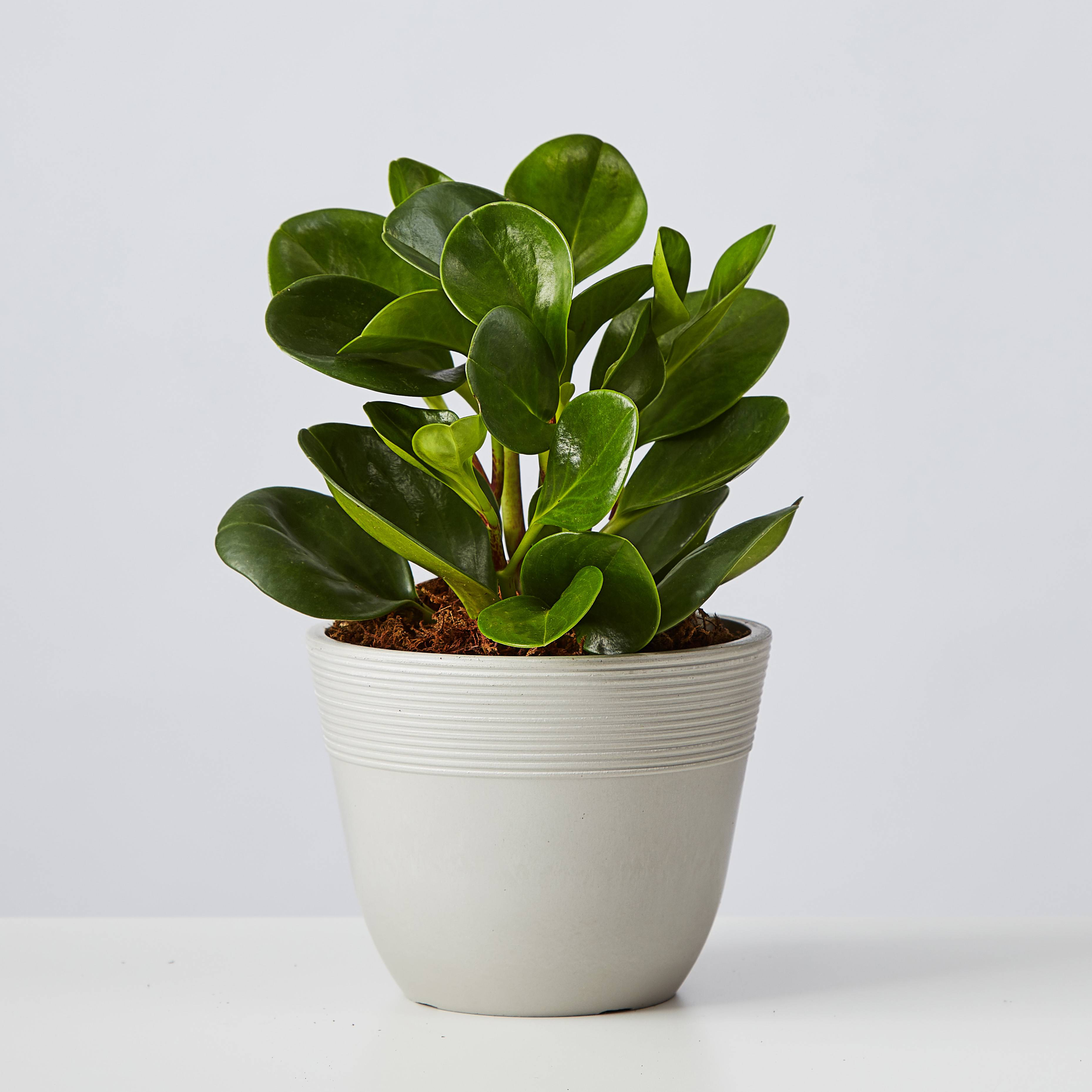 Baby Rubber Plant (Teardrop Peperomia)