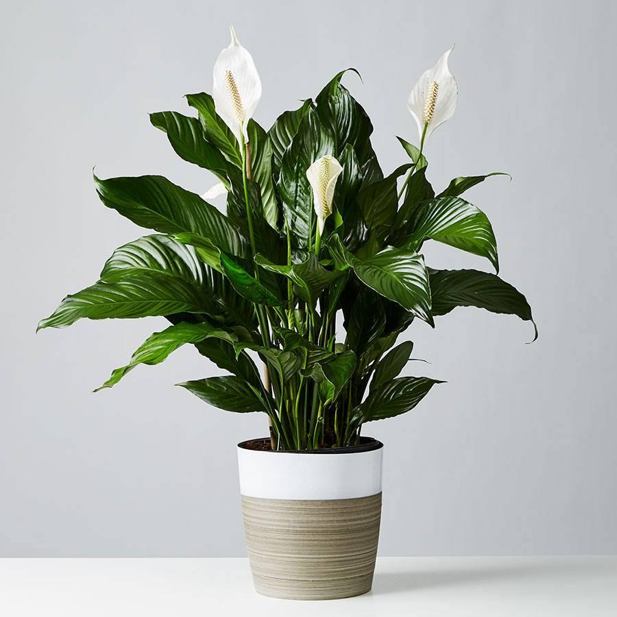 Sympathy Peace Lily Floor Plant (Spathiphyllum)