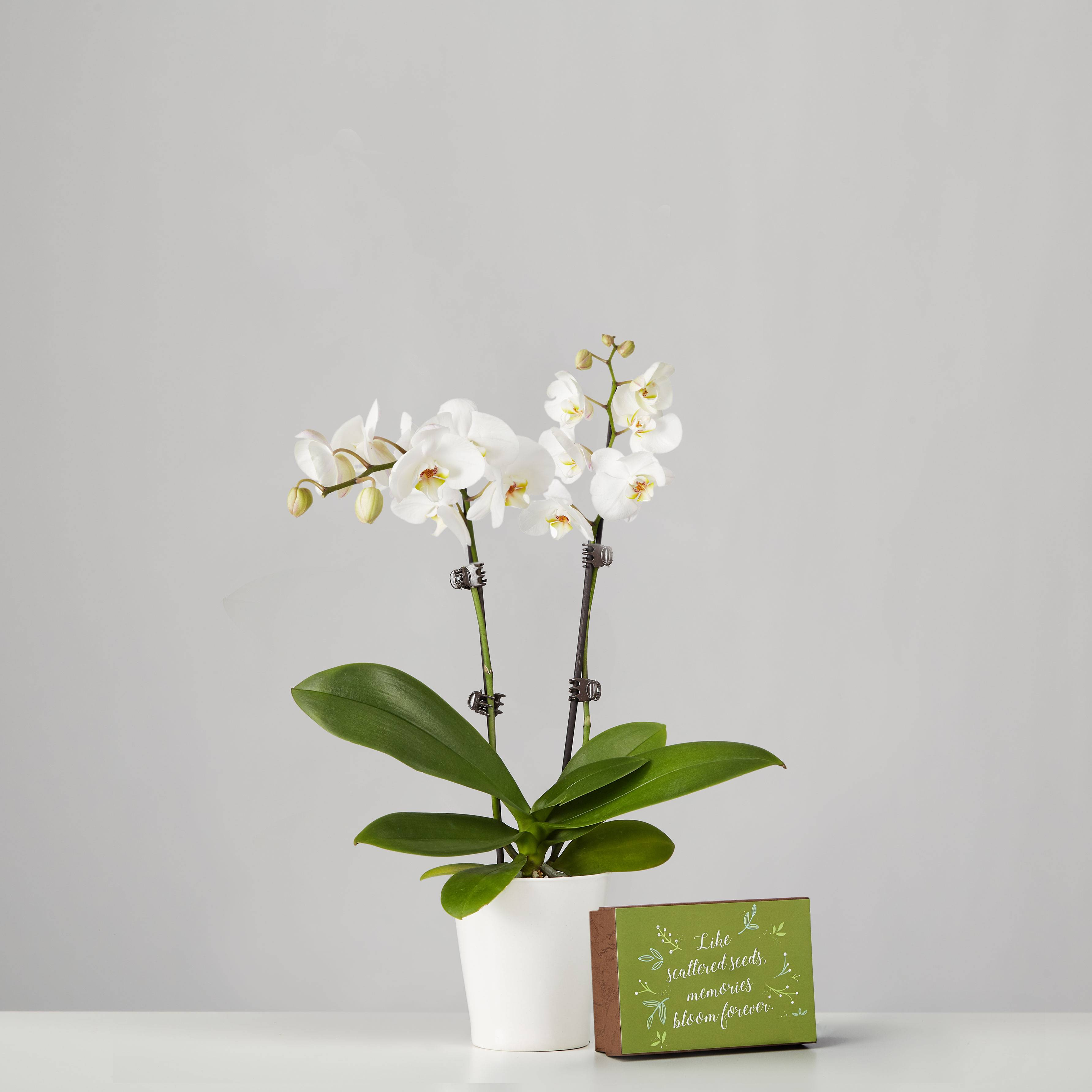 Small Phalaenopsis Orchid for Sympathy: White