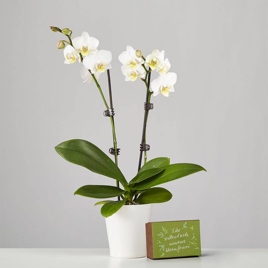 Large Phalaenopsis Orchid for Sympathy: White
