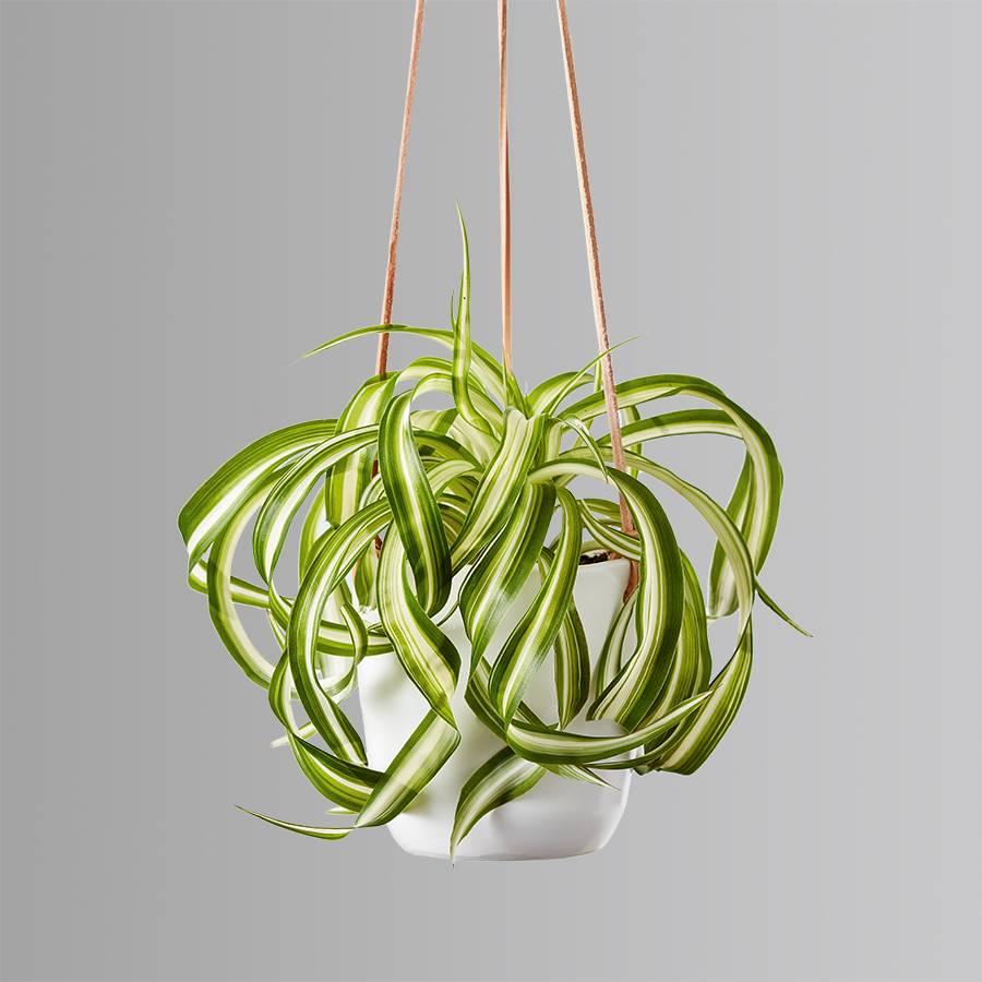 Spider Hanging Plant