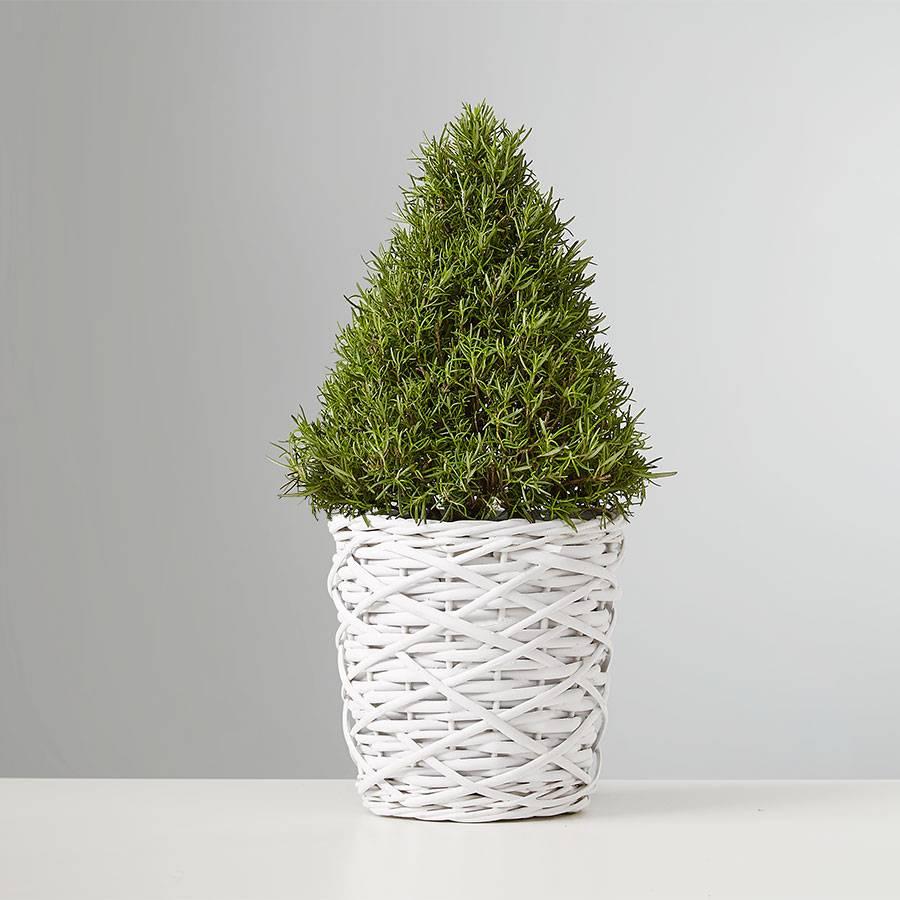 Rosemary and Bright Tree