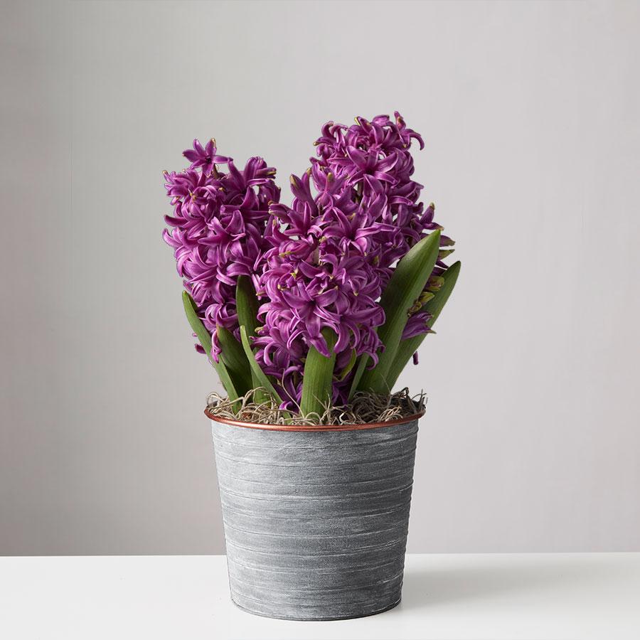 Purple Hyacinth Bulbs