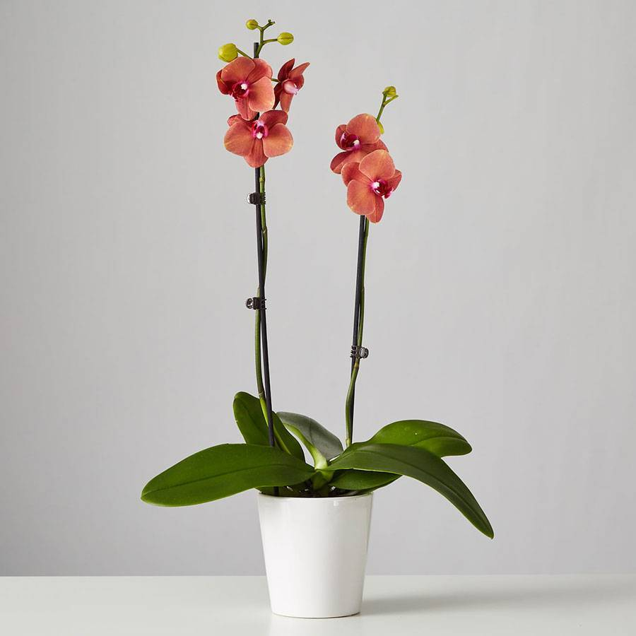 Large Phalaenopsis Orchid: Orange