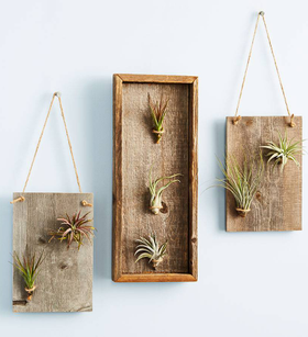 Air Plant Gallery Accents