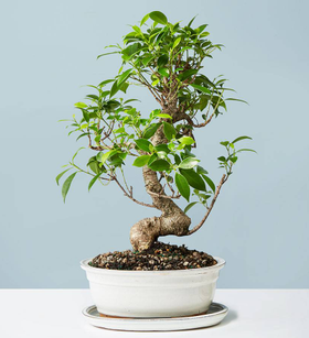 Golden Gate Ficus Bonsai