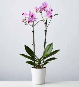 Large Phalaenopsis Orchid: Pink