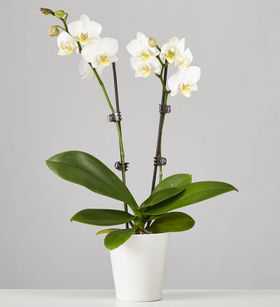 Large Phalaenopsis Orchid: White