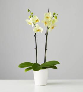 Large Phalaenopsis Orchid: Yellow