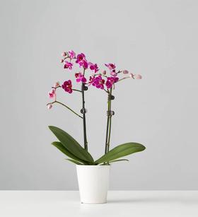 Small Phalaenopsis Orchid: Purple