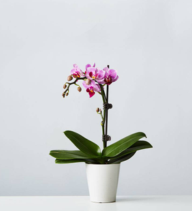 Small Phalaenopsis Orchid: Pink