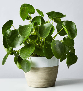 Pilea Peperomioides Plant