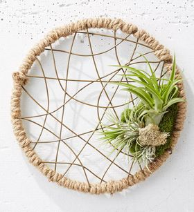 Dreamcatcher Air Plant