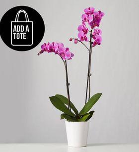 Large Phalaenopsis Orchid: Purple