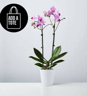Large Phalaenopsis Orchid: Pink